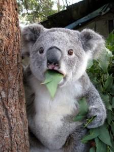 koala-bear-is-astonished
